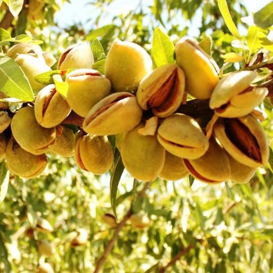 Ferraduel Tüplü Badem Fidanı - Aşılı & Sertifikalı (TOZLAYICI)