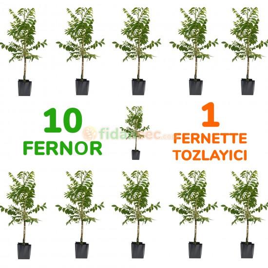 10 Adet Fernor Ceviz Fidanı 1 Adet Tozlayıcı Fernette (AÇIK KÖKLÜ)