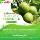 Fernette Ceviz Fidanı - Fernor Tozlayıcısı 100 CM ve Üzeri (Açık Köklü)
